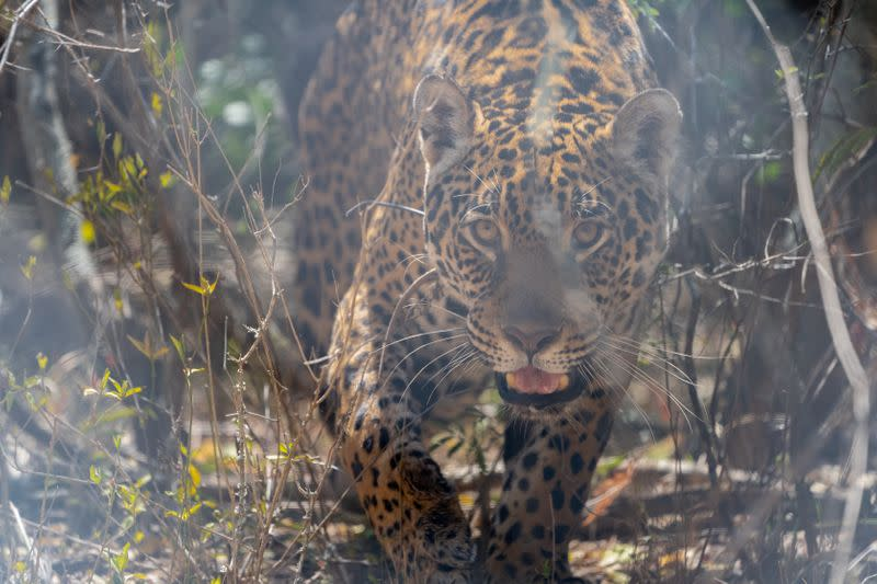 Tania, a female jaguar brought up in a zoo, is seen in her enclosure at the Impenetrable National Park in the Chaco Province