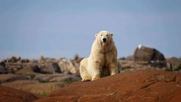 A polar bear, captured in a file photo, rests on rocks. Elijah Kaernerk, his partner and her sister-in-law were attacked by a polar bear near Sanirajak, Nunavut on Tuesday, Aug. 10, 2021. Kaernerk recalled the harrowing encounter to CBC. (Submitted by Tiffany Spence - image credit)