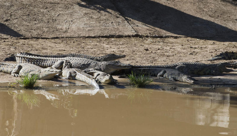 This photo taken Wednesday, Jan. 23, 2013 shows some of the recaptured crocodiles  back safely on the farm they escaped from, at Pontdrif, South Africa, near the Botswana border. About 7,000 of the creatures escaped when the gates on a dam were opened this week to alleviate pressure created by rising flood waters. About 2,000 had been recaptured Friday, Jan. 25, 2013. Video from the scene shows people hunting down the small-ish crocs at night, tying them up and taking them back to the Rakwena Crocodile Farm, in northern South Africa. The farm, which didn't respond to an email or calls seeking comment, used to hold 15,000 crocodiles (AP Photo) SOUTH AFRICA OUT