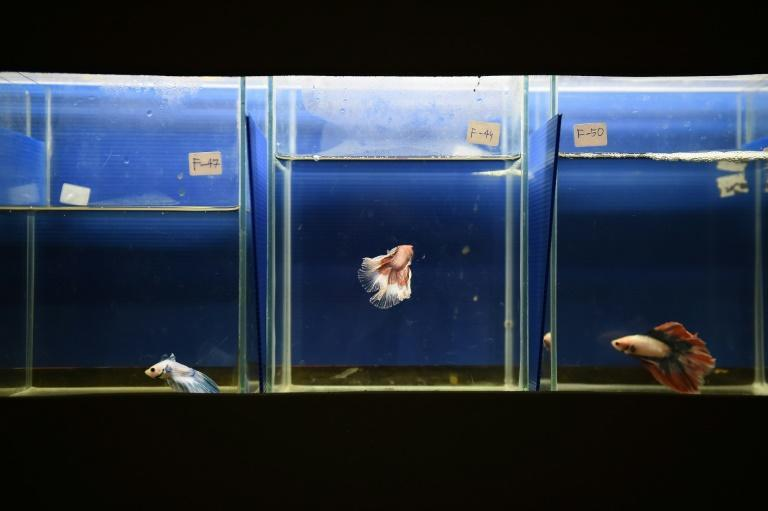 The Siamese fighting fish is popular in home aquariums for its iridescent body and many-hued tail
