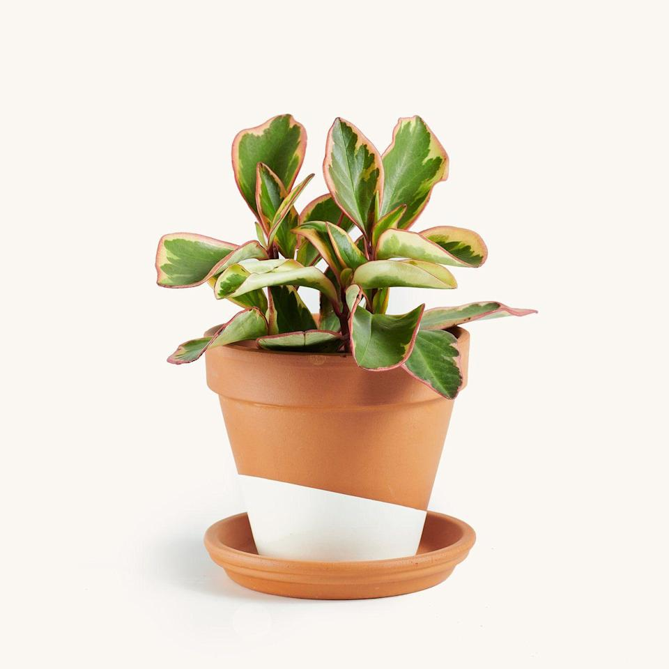 """<p><strong>Horti</strong></p><p>heyhorti.com</p><p><strong>$14.00</strong></p><p><a href=""""https://heyhorti.com/collections/plant-selection/products/peperomia-pink"""" rel=""""nofollow noopener"""" target=""""_blank"""" data-ylk=""""slk:SHOP NOW"""" class=""""link rapid-noclick-resp"""">SHOP NOW</a></p><p>Peperomia can hold moisture really well and is super easy to care for. And just like Elle Woods, we love pink.</p>"""