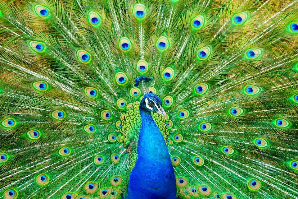 Birds like peacocks may have inherited their flamboyant displays from the dinosaurs. (Getty)
