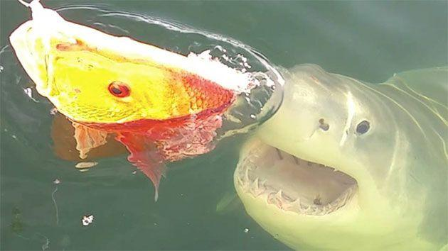 The Great White Shark lunges toward the Red Snapper after fisherman attempted to reel in the fish. Photo: Supplied