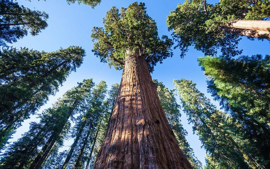 "<p>While the precise location of the Earths tallest tree, a coast redwood dubbed Hyperion in <a rel=""nofollow"" href=""http://www.travelandleisure.com/trip-ideas/nature-travel/redwood-national-forest"">Redwood National Park</a>, is kept secret, finding the largest tree in the world as measured by volume is easy.</p><p>Its less than a mile down a paved trail inside <a rel=""nofollow"" href=""https://www.nps.gov/SEKI/index.htm"">Sequoia National Park</a> and marked by a handy plaque. Named for Civil War General William Tecumseh Sherman, this tree is a true behemoth: 275 feet tall, more than 102 feet in circumference at its base with a trunk thats 14 feet across even 180 feet off the ground. And General Sherman isnt at risk of being out ranked anytime soonhes still growing.</p>"