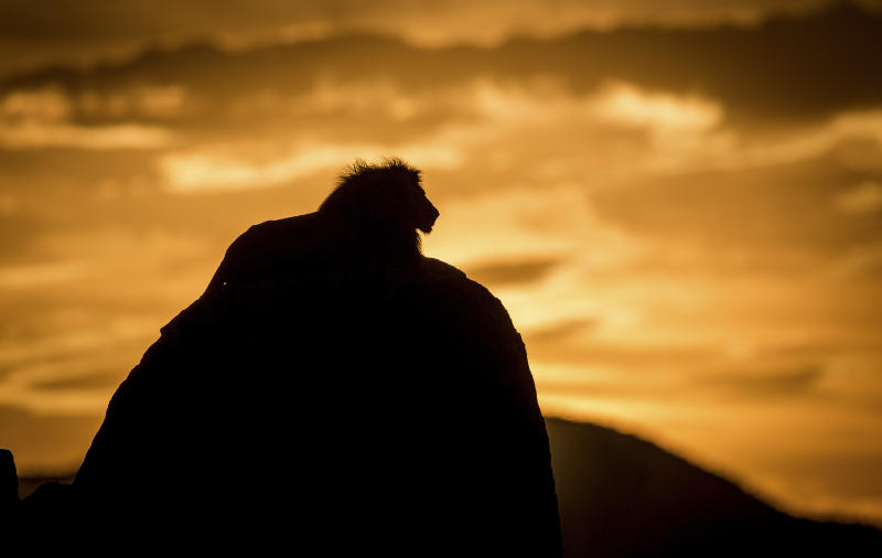 A lion at sunset in the Kidepo Valley National Park in Uganda. (Photo: Will Burrard-Lucas/Caters News)