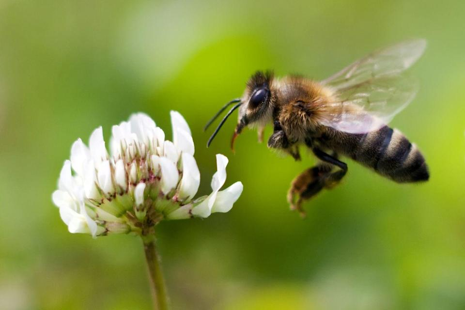 """<p><strong>Honey Bee</strong></p><p>This hard-working insect earned this title in 1973. Want to help the bee community thrive? <a href=""""https://www.countryliving.com/gardening/garden-ideas/a42235/planting-wildflowers-could-quadruple-bee-survival-rate/"""" rel=""""nofollow noopener"""" target=""""_blank"""" data-ylk=""""slk:Plant some wildflowers."""" class=""""link rapid-noclick-resp"""">Plant some wildflowers.</a><br></p>"""