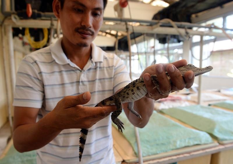 Crocodile breeder Glenn Rebong holds a weeks-old freshwater crocodile, artificially hatched in incubators at a crocodile farm in Puerto Princesa, Palawan island on June 6, 2014 (AFP Photo/Ted Aljibe)