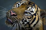 Big cats have lost more than 90 percent of their historic range and population (AFP/Romeo GACAD)