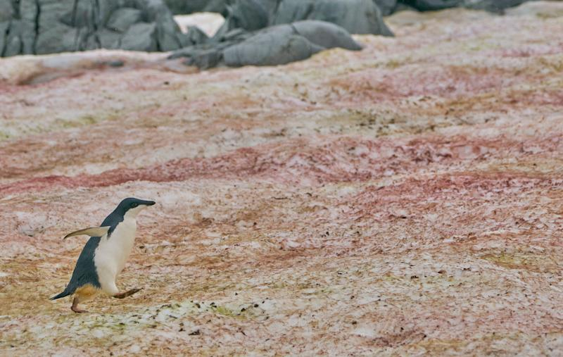 An Adelie penguin amid red algae on the Antarctic Peninsula (Photo: Bkamprath via Getty Images)