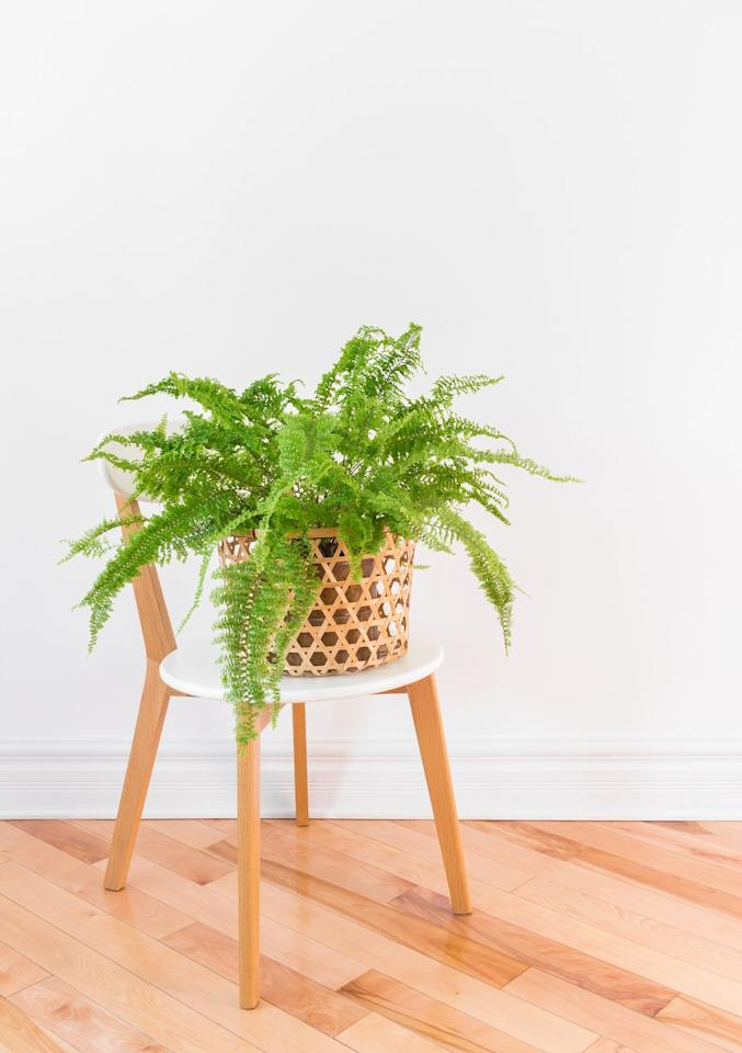 "<p>Searching for a lush plant to enhance your space? Look no further than ferns. Popular types, like the Boston Fern, only need bright, indirect light and regular waterings to survive indoors. On the other hand, the Maidenhair Fern isn't a top pick for indoors due to its need for tons of moisture. </p><p><a class=""body-btn-link"" href=""https://go.redirectingat.com?id=74968X1596630&url=https%3A%2F%2Fwww.homedepot.com%2Fp%2FPure-Beauty-Farms-Boston-Fern-Plant-in-8-in-Hanging-Basket-DC8HBFERN%2F312286366&sref=https%3A%2F%2Fwww.goodhousekeeping.com%2Fhome%2Fgardening%2Fg32490113%2Fbest-aesthetic-plants%2F"" target=""_blank"">SHOP NOW</a></p>"