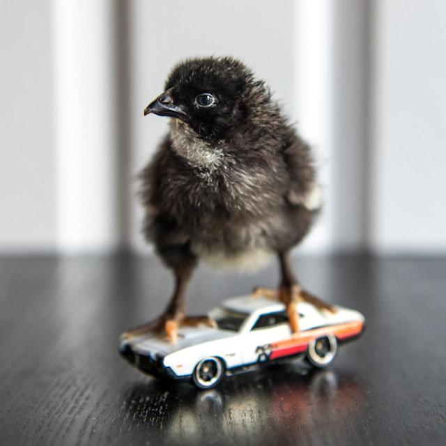 <p>A chick stands on the top of a hot rod. (Photos: Alexandra C. Daley-Clark/sillychickens.com) </p>