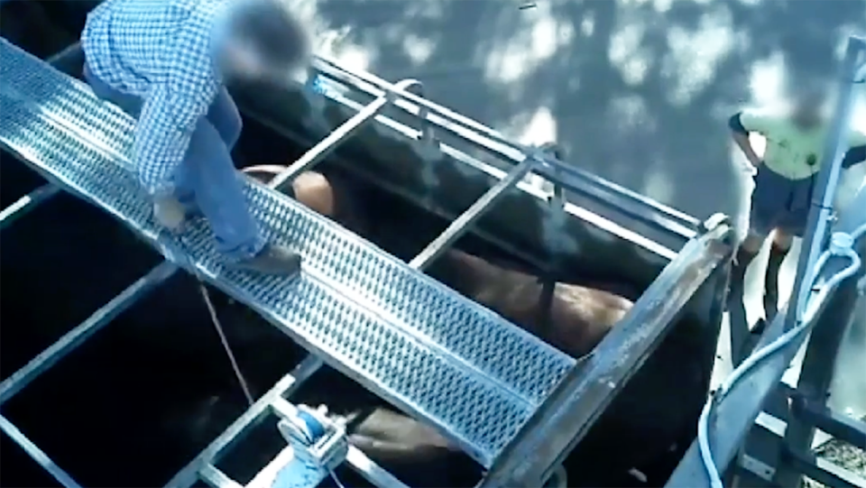 An abattoir worker, pictured mistreating horses. Image: ABC