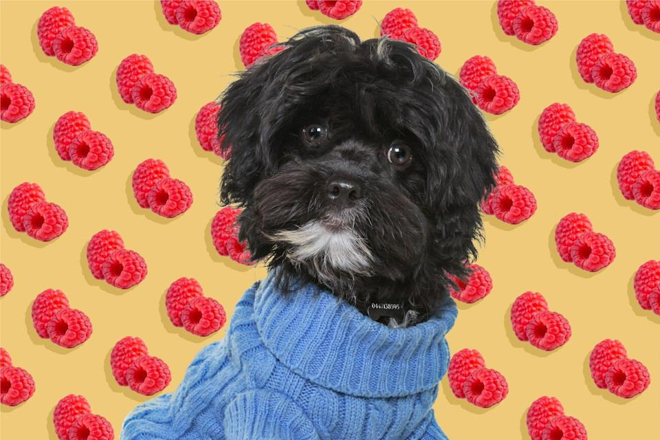 dog in sweater with raspberry illustration