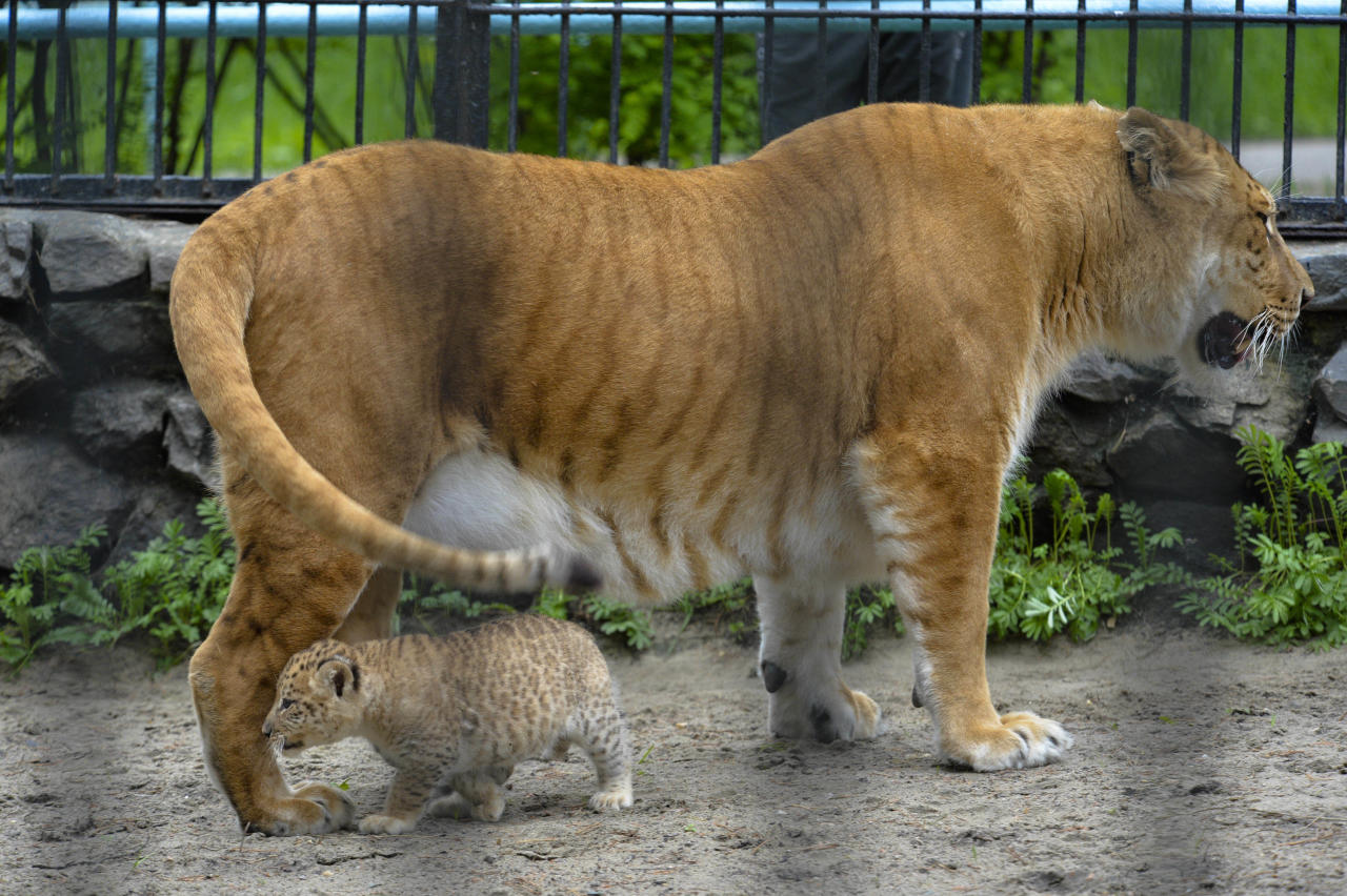In this Tuesday, June 18, 2013 photo Zita, a liger, half-lioness, half-tiger stands with her one month old liliger cub in the Novosibirsk Zoo. The cub's father is a lion, Sam. (AP Photo /Ilnar Salakhiev)