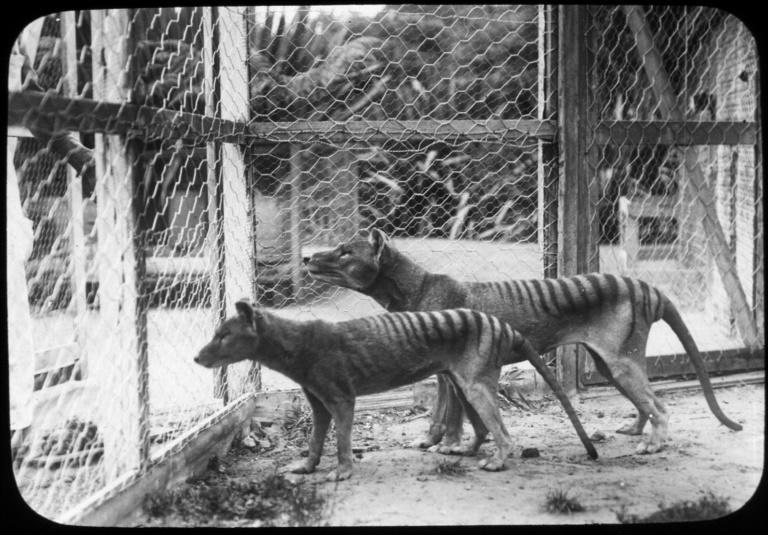 Photograph from the Tasmanian Museum and Art Gallery shows the now extinct Tasmanian tiger or thylacines at Beaumaris Zoo in Hobart in 1918