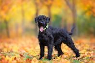 "<p>Larger than its Standard relative, the <a href=""https://www.akc.org/dog-breeds/giant-schnauzer/"" rel=""nofollow noopener"" target=""_blank"" data-ylk=""slk:Giant Schnauzer"" class=""link rapid-noclick-resp"">Giant Schnauzer</a> is a dog that has an equally regal bearing and high intelligence. More up-tempo than most big breeds, the Giant needs lots of exercise: a long walk, a round of play with other dogs, or a game of fetch all do well.</p>"