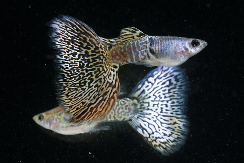 Guppies, similar to these 'metal yellow lace' guppies, were found to be more likely to follow leaders when there were lots of predators about: Reuters