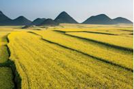 <p>A sea of rapeseed fields surrounding the mountains of Luoping, Yunnan Province, China. </p>