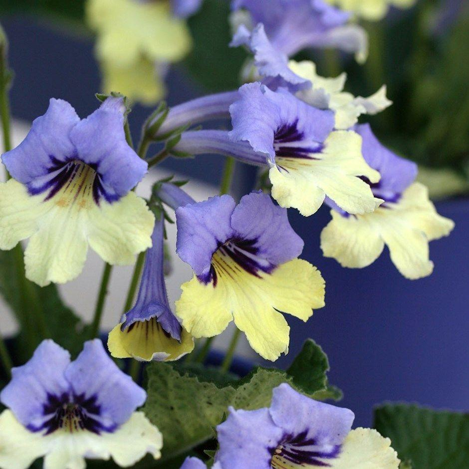 """<p>The short stems on these gorgeous two-toned blooms create a compact and colourful display. </p><p><a class=""""link rapid-noclick-resp"""" href=""""https://www.crocus.co.uk/plants/_/streptocarpus-harlequin-blue-pbr/classid.2000023866/"""" rel=""""nofollow noopener"""" target=""""_blank"""" data-ylk=""""slk:BUY NOW"""">BUY NOW</a> <strong>from £19.99, Crocus</strong></p>"""