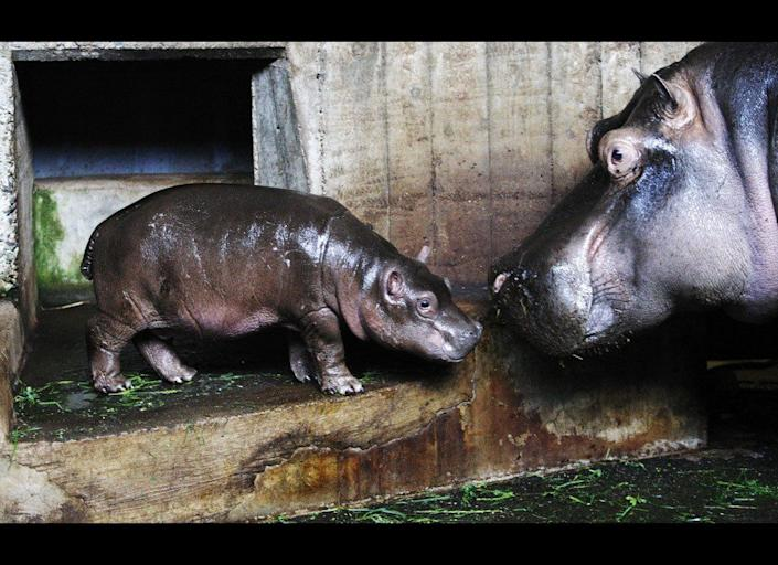 A 13-days old hippo with his mother Maruska showed to public for the first time at the Prague's Zoo in Prague, Czech Republic, Tuesday, June 21, 2011.