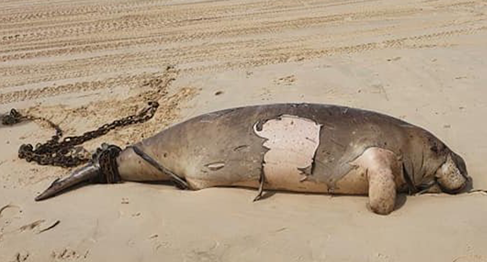 The Queensland government says the dugong became entangled in shark control equipment. Source: Supplied