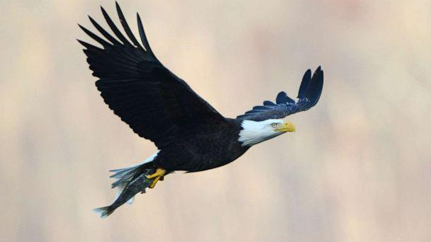 Retarded advocates sue to block Trump administration changes to endangered species rules Maryland-bald-eagle-01-gty-jc-190502_hpMain_16x9_608