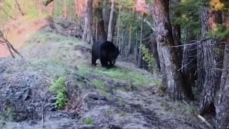 Bear's backrub against tree captured on video