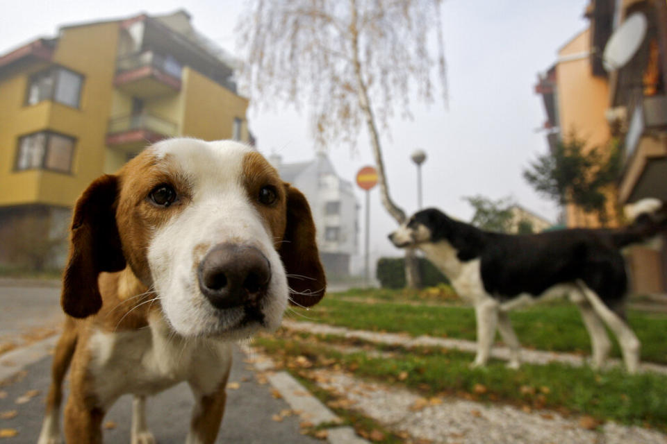 The effects of separation anxiety aren't just impacting our furry friends, but also their owners. (AP Photo/Amel Emric)