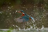 A dramatic fish-eye view shows life from beneath the surface - as a hidden underwater camera captures the moment a kingfisher dives from above to catch its next meal. The hidden GoPro camera shows the last peaceful seconds of the fish swimming along beneath the water's glassy surface - just before one of them becomes lunch for the agile kingfisher.