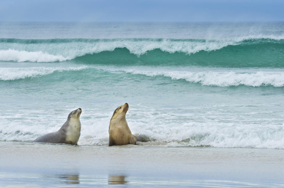 Sea lions on beach. Source: Getty Images