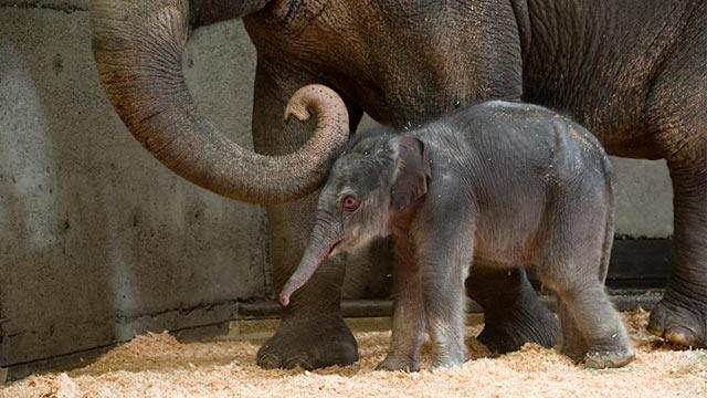 Oregon Zoo's Baby Elephant Owned By Entertainment Company