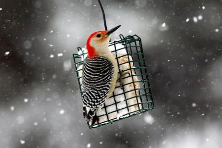 FILE PHOTO: A Red-bellied Woodpecker perches on a suet feeder during a winter storm in the village of Nyack