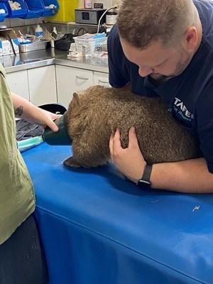 Rescued wombat 'Lara' being assessed at the vet. (photo credit WIRES)