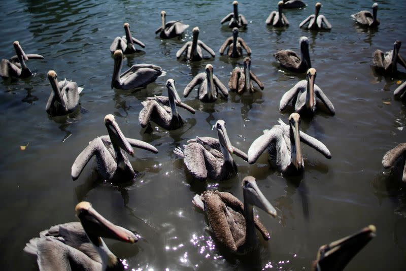 Pelicans wait to be fed by Leonardo Carrillo (not pictured) in Guanimar, Cuba