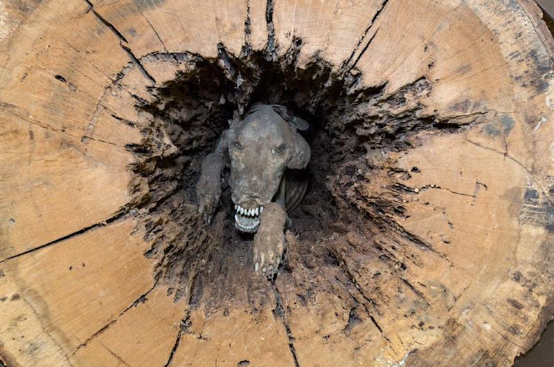The Southern Forest World museum in Waycross, Georgia, is the proud home of Stuckie the mummified dog. A logging contractor found the 4-year-old hound stuck in a stump in 1980. No one knows how Stuckie got stuck, but experts think he has been stuck since 1960.