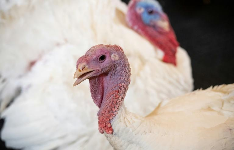 "US President Donald Trump will ""pardon"" turkeys Bread and Butter (seen here) before Thanksgiving, but some Americans do not eat turkey at all on the holiday, preferring to embrace plant-based diets"