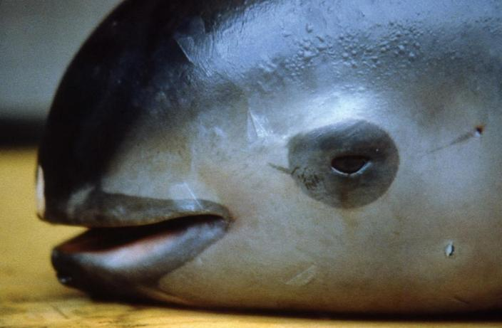 """Known as """"the panda of the sea"""" for the distinctive black circles around its eyes, the vaquita has been decimated by gillnets used to fish for another species, the also endangered totoaba fish (AFP Photo/Omar Vidal)"""