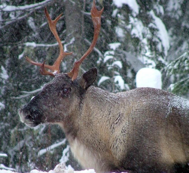 Ottawa, province, First Nations sign deal to protect southern mountain caribou