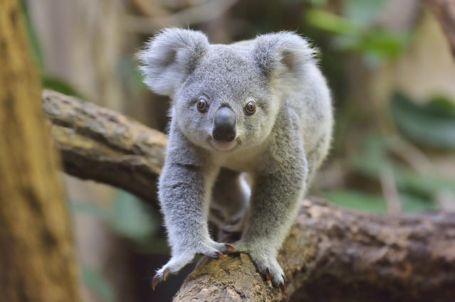 Koalas could be extinct in New South Wales by 2050. (Getty)