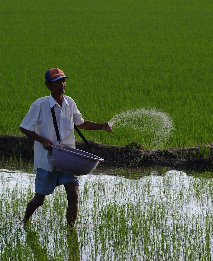 A farmer throws fertilizer on his family rice field in the southern Mekong delta province of Can Tho (AFP Photo/Hoang Dinh Nam)
