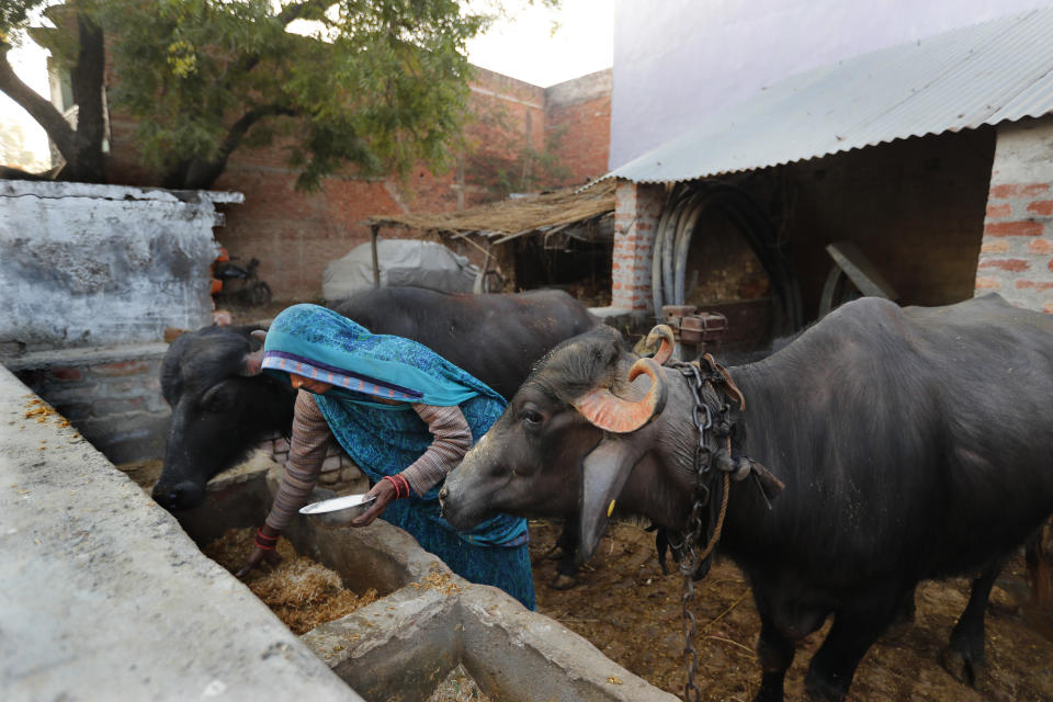 Indian farmer Ram Singh Patel's wife Kantee Devi prepares fodder for their cattle in the backyard of their village house in Fatehpur district, 180 kilometers (112 miles) south of Lucknow, India, Saturday, Dec. 19, 2020. Patel's day starts at 6 in the morning, when he walks into his farmland tucked next to a railway line. For hours he toils on the farm, where he grows chili peppers, onions, garlic, tomatoes and papayas. Sometimes his wife, two sons and two daughters join him to lend a helping hand or have lunch with him. (AP Photo/Rajesh Kumar Singh)