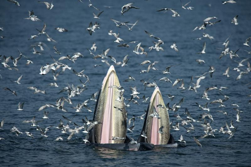 The way that Bryde's whales feed is the greatest biomechanical event in the world, says a Thai whale-spotting guide (AFP Photo/Lillian SUWANRUMPHA)