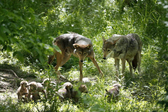 American red wolves Artemis, right, and Oka, left, keep watch over their 5-week-old pups at the Endangered Wolf Center in Eureka, Mo., on Monday, May 20, 2019. For red wolves, gunshot deaths are a problem particularly when hunting season collides with wolf breeding season, said Pete Benjamin, a Fish and Wildlife Service field supervisor in North Carolina. (AP Photo/Jeff Roberson)