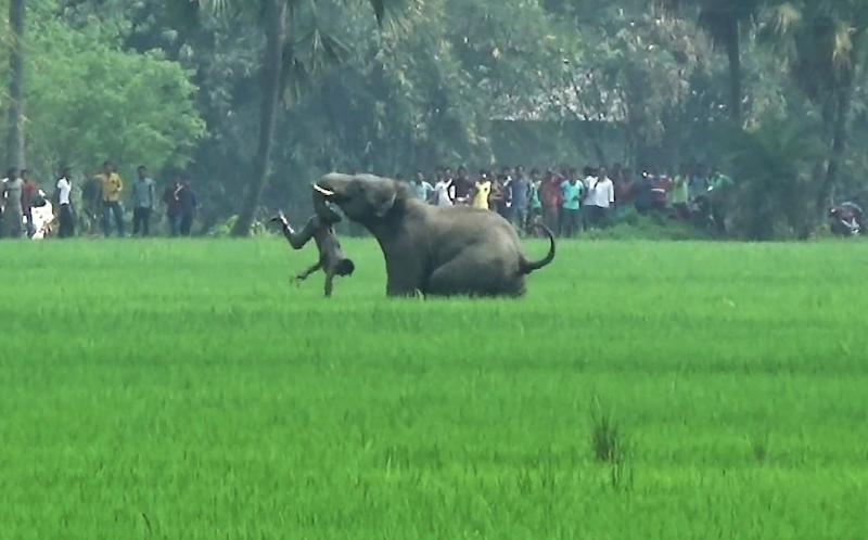 An elephant attacks an Indian man in a village in West Bengal state. Endangered elephants and tigers are killing one person a day in India as humans put a growing squeeze on their habitat, according to new government figures