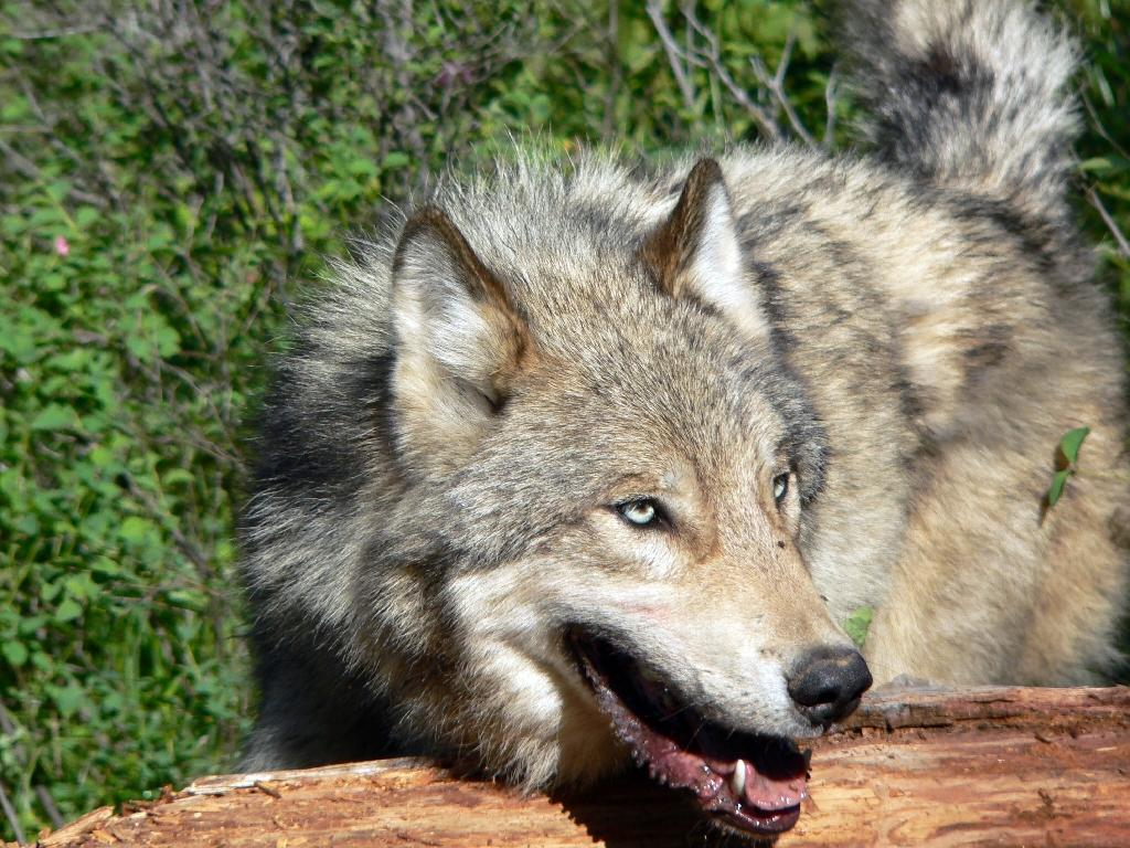 US ranchers have been accused of trying to interfere with the reintroduction of wolves in Yellowstone National Park (AFP Photo/)