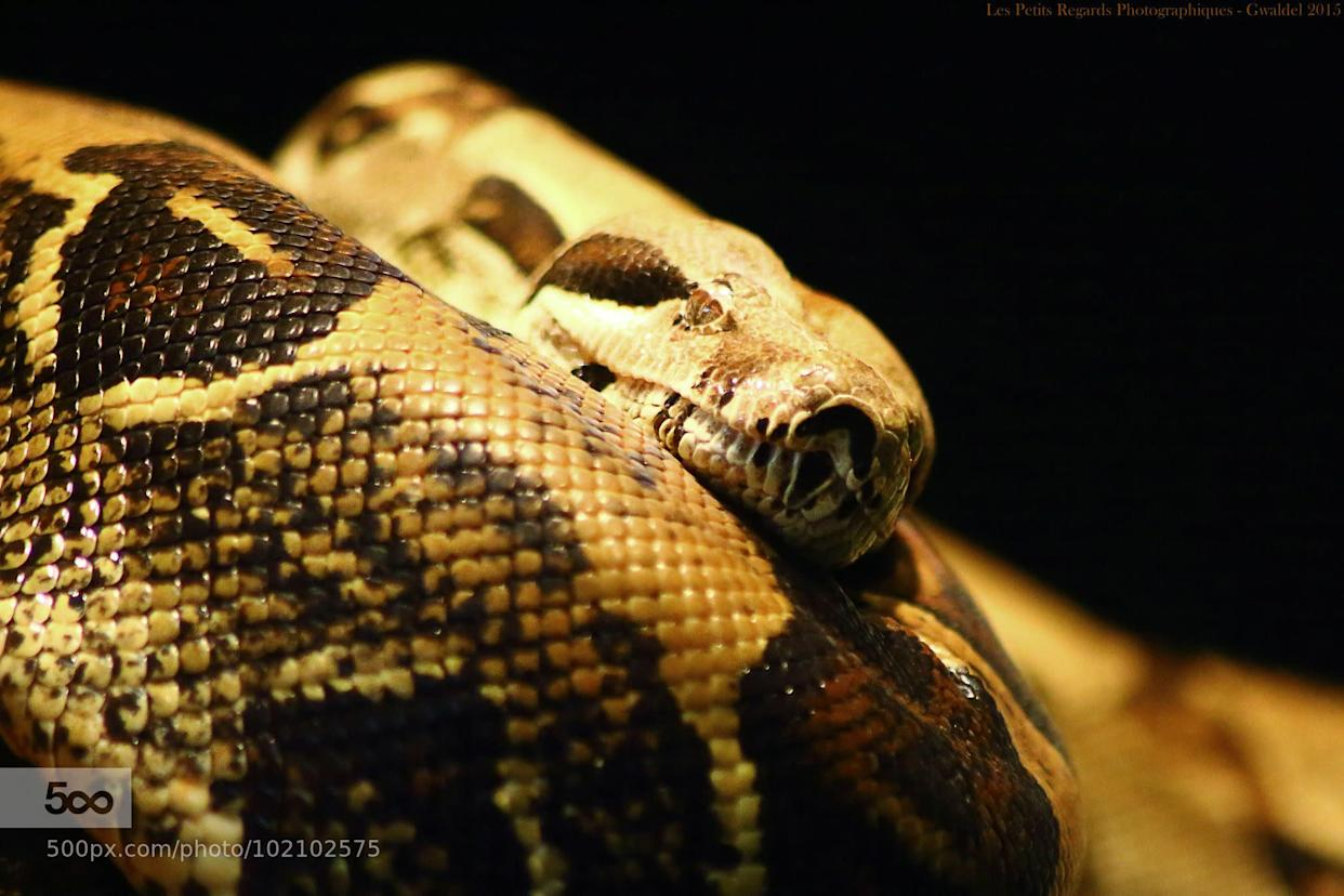 Turns Out Boa Constrictors Might Not Actually Suffocate Their Prey