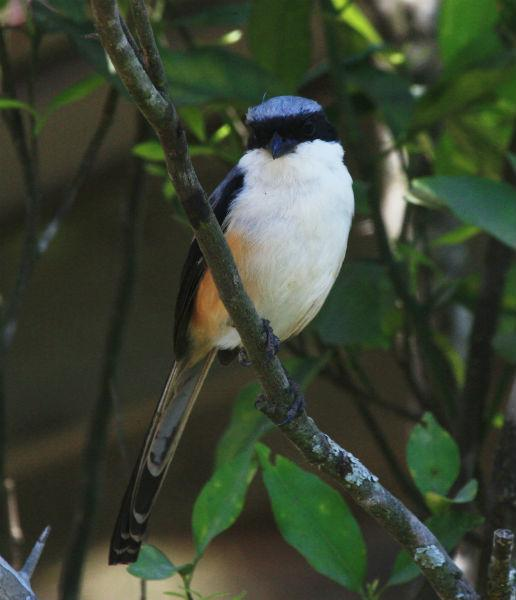 """<b>Long-tailed Shrike:</b> Shrikes, also called """"butcher-birds"""", impale their prey, mostly insects and lizards, in thorny bushes to snack on them later. Marked out by a black band over the eyes -- like Zorro's mask -- shrikes skillfully mimic the calls of other birds."""