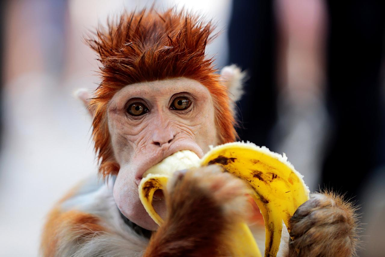 <p>A monkey eats a banana as it takes a break from performing at a cultural center in Islamabad, Pakistan Oct. 22, 2016. (Photo: Caren Firouz/Reuters) </p>