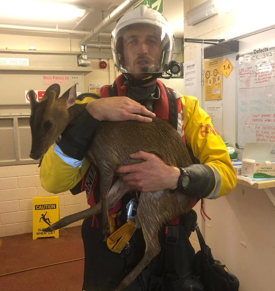 The muntjac deer was saved from the Solent by a lifeboat crew. (Cowes RNLI)