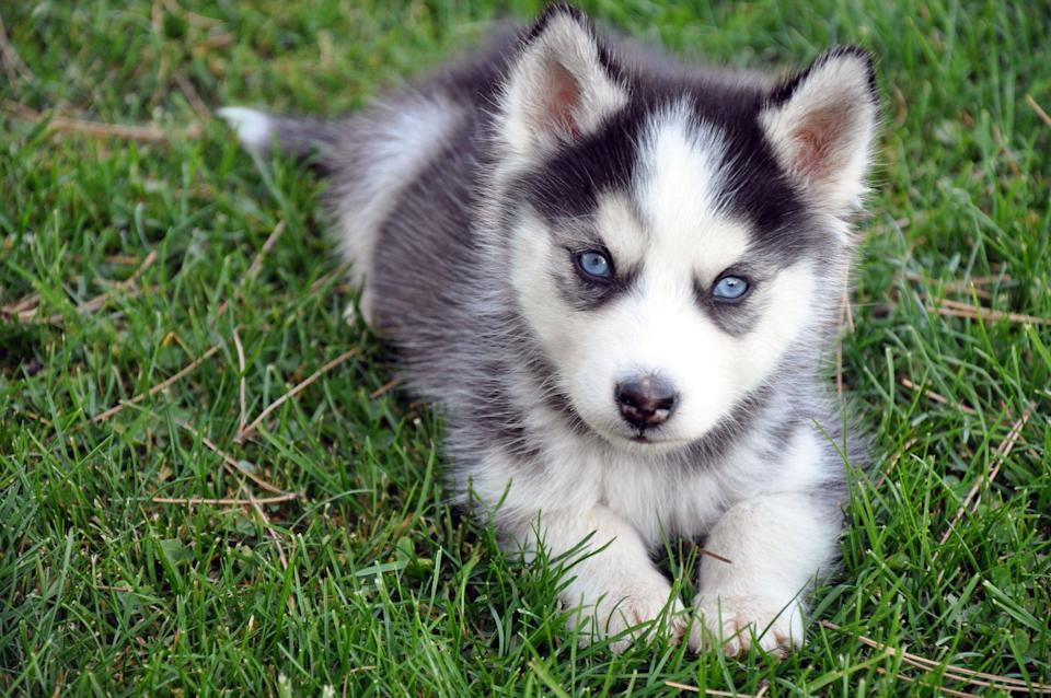 Blue-eyed puppy in the grass